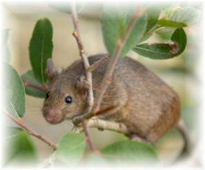 House Mouse Habits And General Habits Of Mice